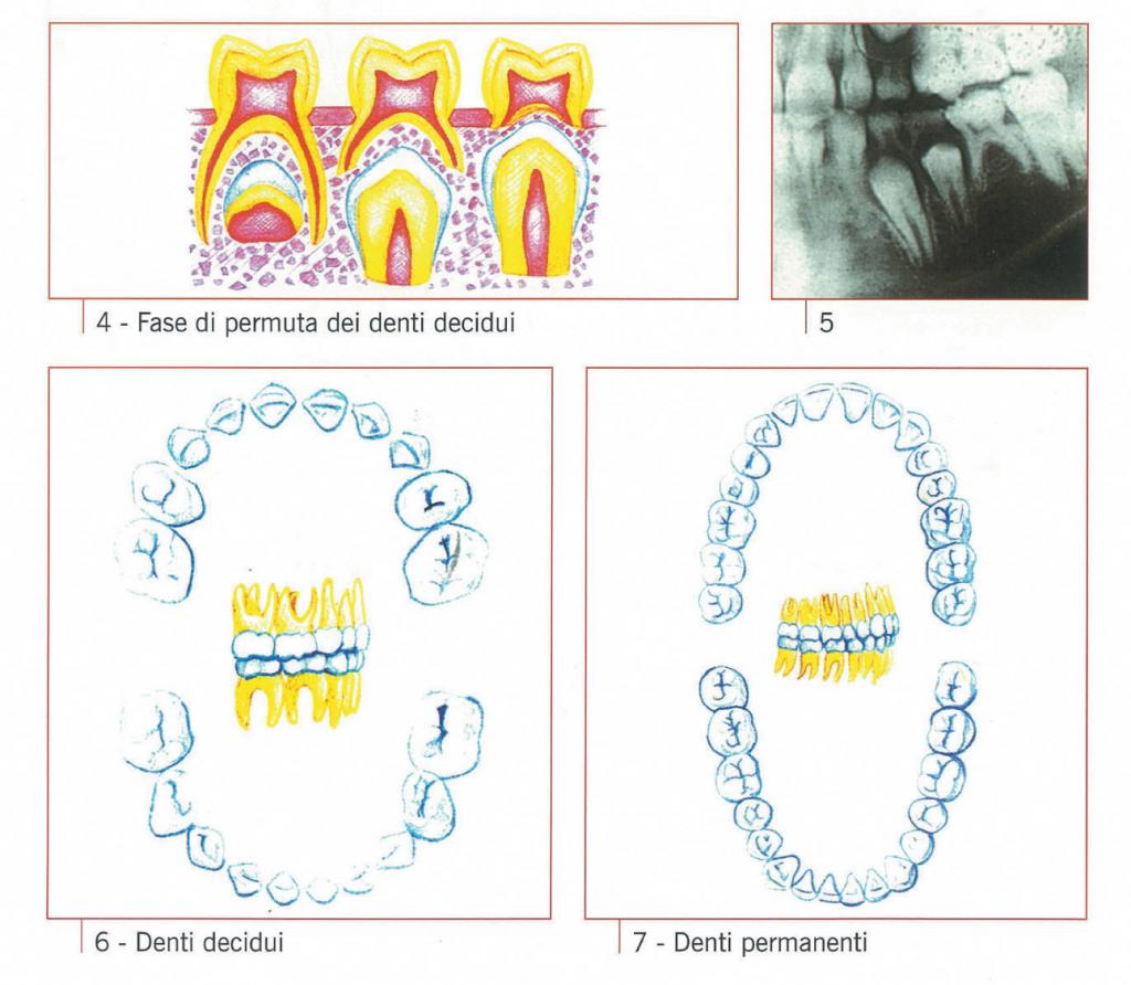 denti-decidui-e-permanenti